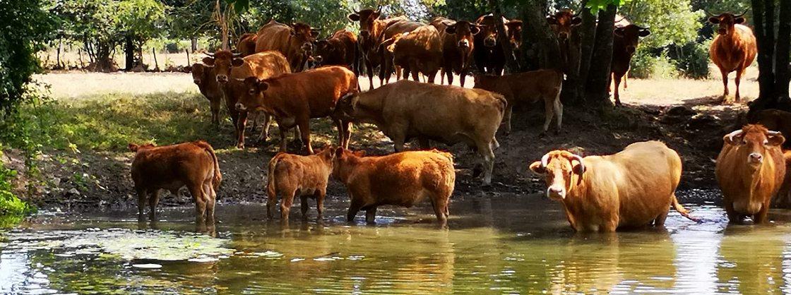 Viande bovine en vente à la ferme