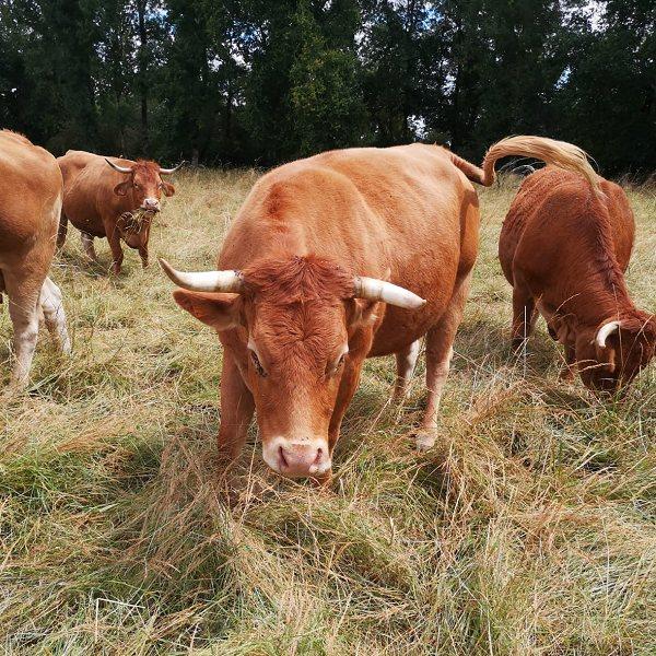 Viande Bovine vente directe à la ferme en Charente